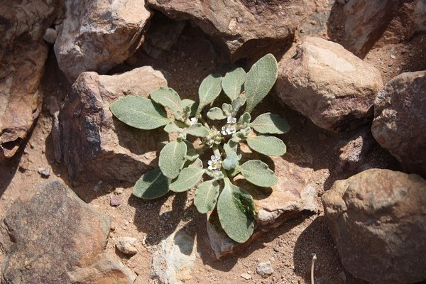 rose de jericho anastatica hierochuntica