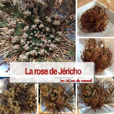 RDV Nature: La rose de Jéricho, plante éternelle
