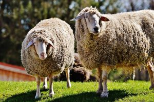 sheep-mouton