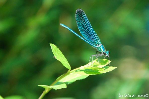 libellulle bleue