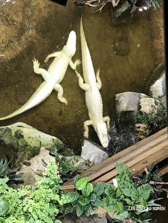 aquarium alligator albinos